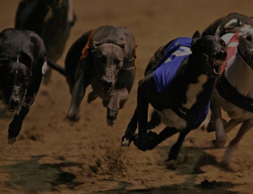 An awesome Greyhound race!